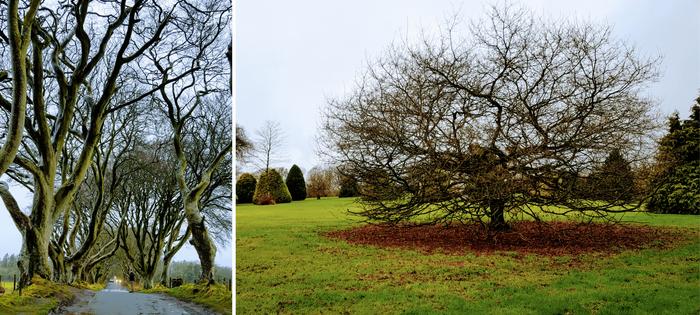 Irlanda del Norte - The Dark Hedges