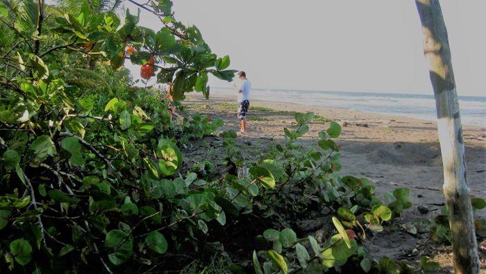 Tortuguero: la playa está llena de estacas que cuentan los nidos donde las tortugas depositan sus huevos.