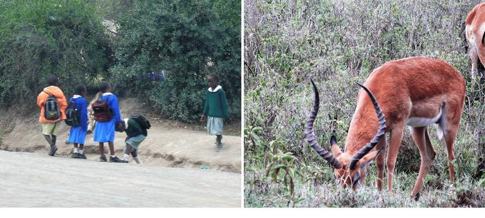 Nakuru - A un lado los niños caminan desde lejos a su escuela. Al otro, un impala se alimenta del paso en el PN
