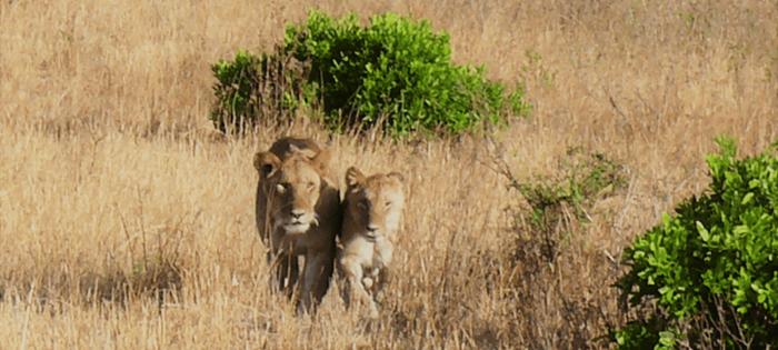 Masai Mara - Empieza el juego. Las leonas han elegido presa - Foto cedida por mi amigo Manel