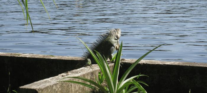 Costa Rica. En el canala de Tortuguero, las iguanas disfrutan de la paz